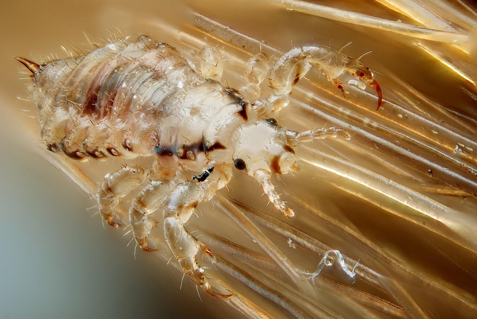 pubic-lice